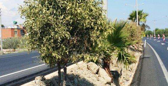 Turunç Ağaçları Ölüyor