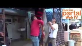 Mersin'de Balıkçılar Dev Köpek Balığı Yakaladı